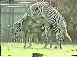 Zebra Porn