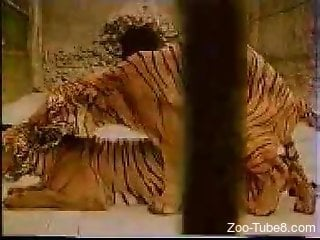 Excited tigers make love in zoo and are filmed on cam