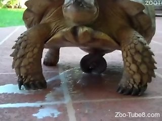 Turtle cums like crazy and shows its weird cock