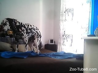 Dalmatian waits for his master to come and play with him