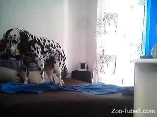 Dalmatian sits on the bed and waits for the horny female