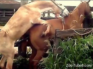 Two horses fucking like crazy in a perfect zoo clip